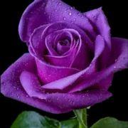 紫z玫m瑰h