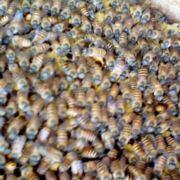 王台养蜂人