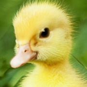 我是你的鸭公