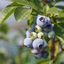 爵隐鸿伊蓝莓采摘