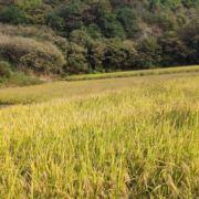 新昌新羽水稻