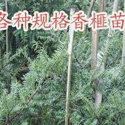 香榧香榧苗盆栽苗