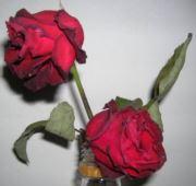 凋落带刺玫瑰
