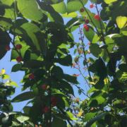 下管樱桃猕猴桃