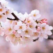 十月的樱花
