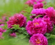 红玫瑰1975
