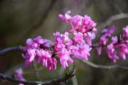 紫荆花开一梦