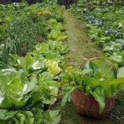 老王的菜园子
