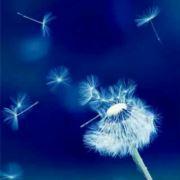 蒲公英飞满天